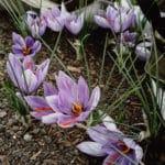fleurs-crocus-sativus-safran_┬® Bien E╠üleve╠ües-2