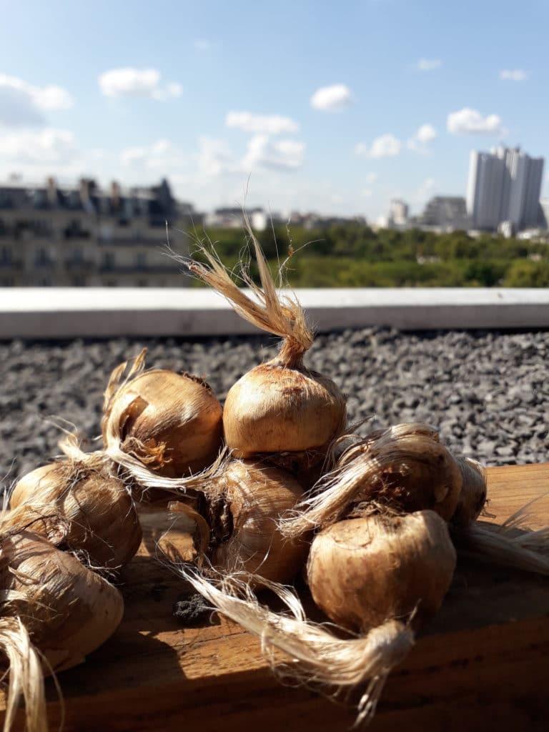 Agriculture urbaine : des safranières qui valorisent les toits de Paris