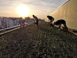 Récolte du safran de Parisaris