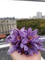 Fleurs de crocus à safran